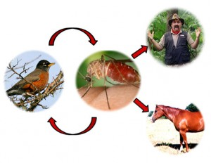 arbovirus cycle